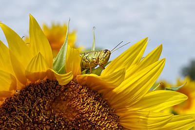 Fireworks - Closeup Sunflower and Grasshopper by Alan Hutchins
