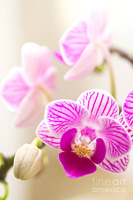 Dendrobium Photograph - Cloud Of Possibility by Ivy Ho