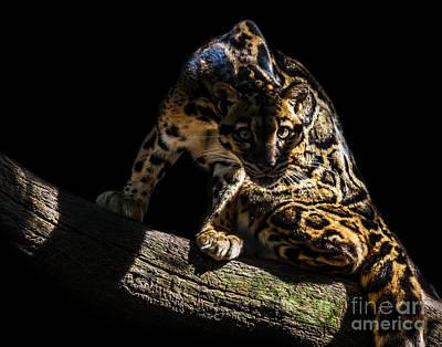Photograph - Clouded Leopard A Five by Ken Frischkorn