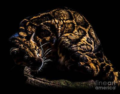 Photograph - Clouded Leopard A Four by Ken Frischkorn