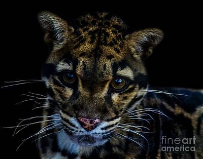 Photograph - Clouded Leopard A One by Ken Frischkorn