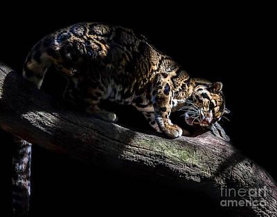 Photograph - Clouded Leopard A Seven by Ken Frischkorn