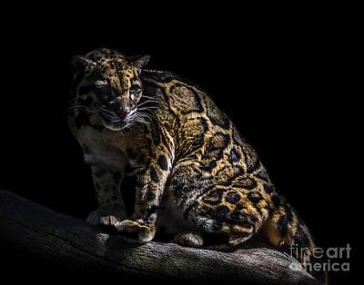 Photograph - Clouded Leopard A Six by Ken Frischkorn