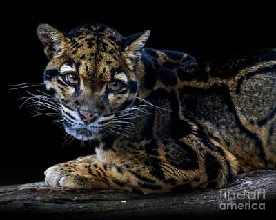 Photograph - Clouded Leopard A Three by Ken Frischkorn