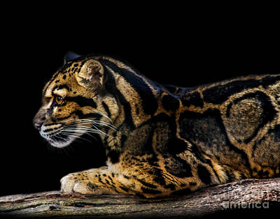 Photograph - Clouded Leopard A Two by Ken Frischkorn