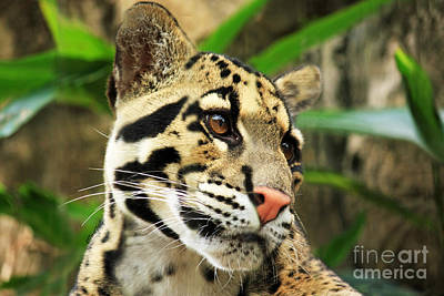 Photograph - Clouded Leopard Face by Terri Mills