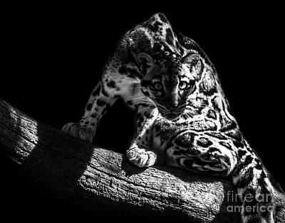 Photograph - Clouded Leopard Five by Ken Frischkorn