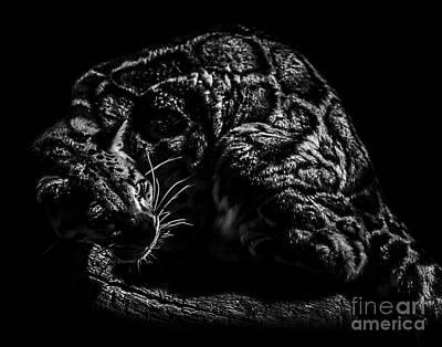 Photograph - Clouded Leopard Four by Ken Frischkorn