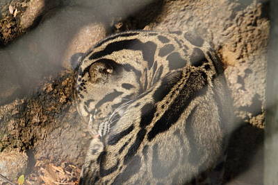 Clouded Leopard - National Zoo - 01133 Art Print