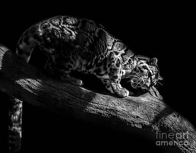 Photograph - Clouded Leopard Seven by Ken Frischkorn