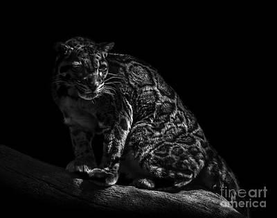 Photograph - Clouded Leopard Six by Ken Frischkorn