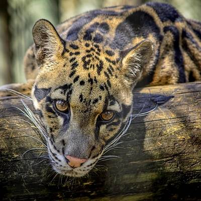 Art Print featuring the photograph Clouded Leopard by Steven Sparks
