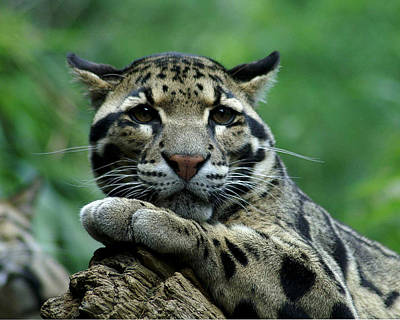 Photograph - Clouded Leopard by TnBackroadsPhotos