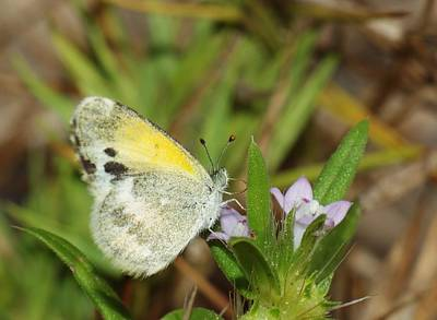 Photograph - Clouded Sulphur by Billy  Griffis Jr