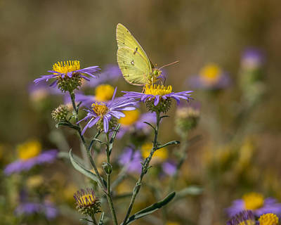 Photograph - Clouded Sulphur Butterfly 2 by Ernie Echols