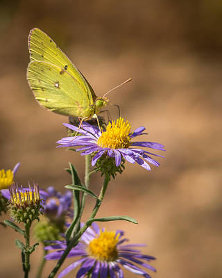 Photograph - Clouded Sulphur Butterfly 3 by Ernie Echols
