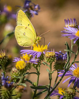 Photograph - Clouded Sulphur Butterfly 4 by Ernie Echols