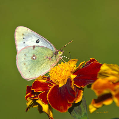 Colias Philodice Photograph - Clouded Sulphur Butterfly by Christina Rollo