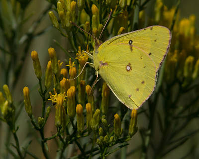Photograph - Clouded Sulphur Butterfly by Ernie Echols