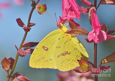 Photograph - Clouded Sulphur Butterfly by Kathy Baccari