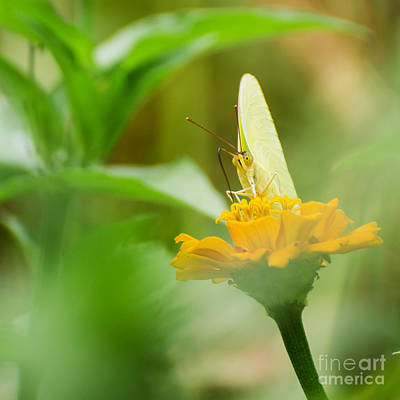Photograph - Cloudless Giant Sulphur  by Donna Brown