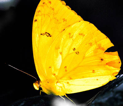 Queen Rights Managed Images - Cloudless Sulphur Butterfly Royalty-Free Image by Optical Playground By MP Ray