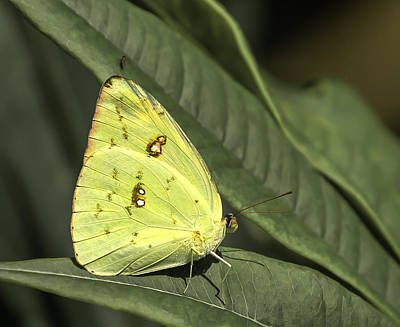 Photograph - Cloudless Sulphur Butterfly by Sean Allen