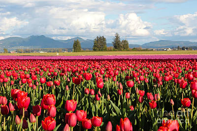 Photograph - Clouds Mountains And Tulips by Carol Groenen