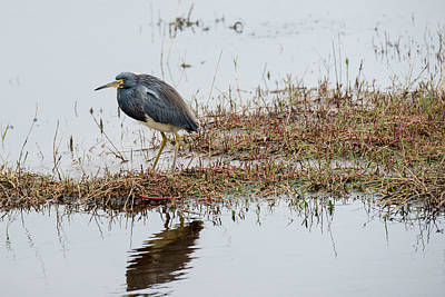 Photograph - Cloudy Day Green Heron by Michael Gooch