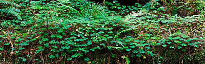 Clover And Ferns On Downed Redwood Art Print