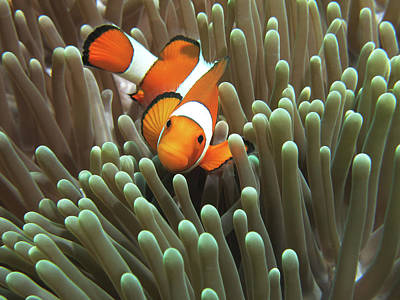 Photograph - Clown Anemonefish by Photographed By Randi Ang