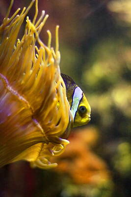 Clown Fish Photograph - Clown Fish And Anemone by Angela Rath