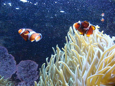 Photograph - Clown Fish by Anthony Seeker