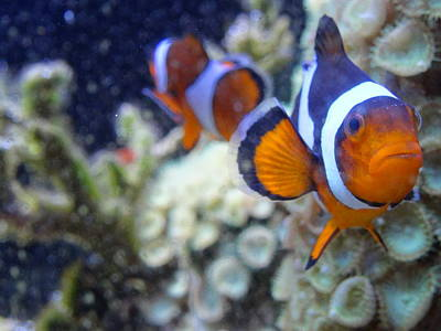 Photograph - Clown Fish Couple by Amanda Balough