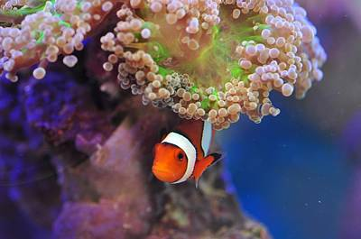 Photograph - Clown Fish Hiding In The Coral   by Puzzles Shum