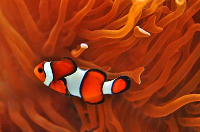 Photograph - Clown Fish Hosting  by Puzzles Shum