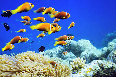 Photograph - Clown Fish In Anemone by Cinoby