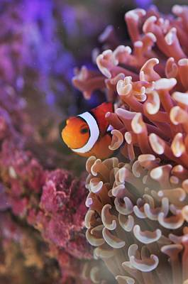 Photograph - Clown Fish In The Coral  by Puzzles Shum