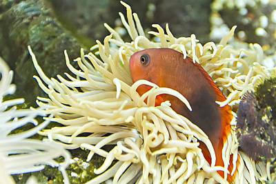 Clown Fish Photograph - Clown Fish by Teng Formoso