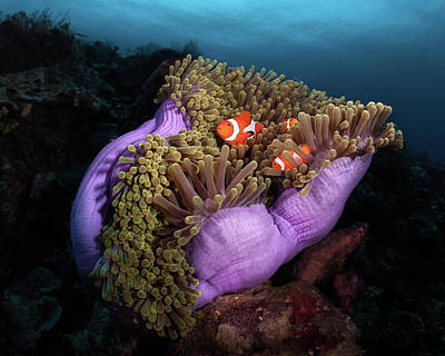 Anemone Photograph - Clown Fish With Magnificent Anemone by Marco Fierli
