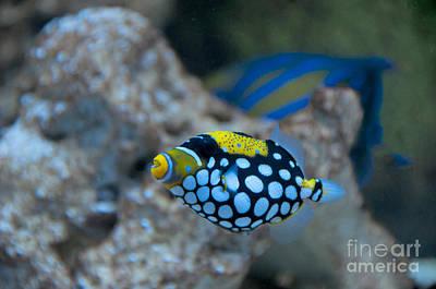 Clown Fish Photograph - Clown Triggerfish by Mark Newman