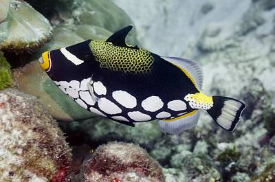 Triggerfish Photograph - Clown Triggerfish by Science Photo Library