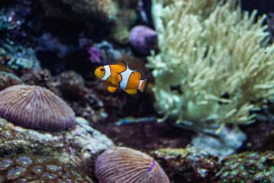 Photograph - Clownfish 1 by Douglas Barnett