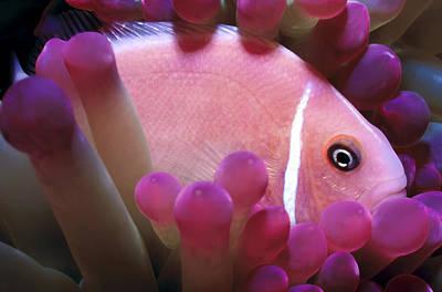 Photograph - Clownfish 2 by Dawn Eshelman