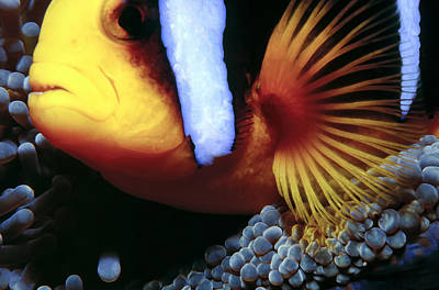 Photograph - Clownfish 3 by Dawn Eshelman