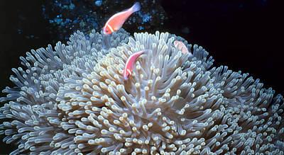Photograph - Clownfish 48 by Dawn Eshelman