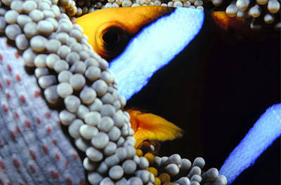 Photograph - Clownfish 7 by Dawn Eshelman
