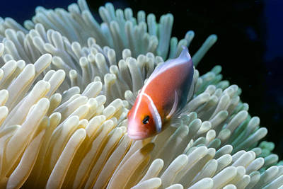 Photograph - Clownfish 9 by Dawn Eshelman
