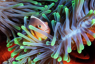Hiding Photograph - Clownfish by Barathieu Gabriel