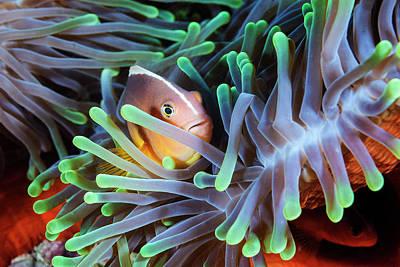 Hiding Photograph - Clownfish by Barathieu Gabriel